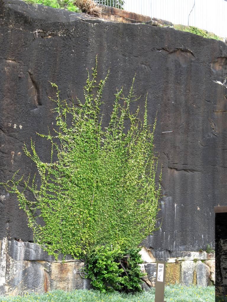 Baum Staten Island